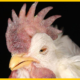 Paramyxovirus: Newcastle Disease