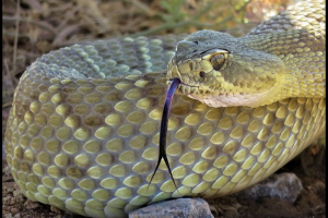 Venomous Snake Bites in Birds Of Prey
