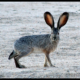 Rabbit Hemorrhagic Disease Virus and Raptor